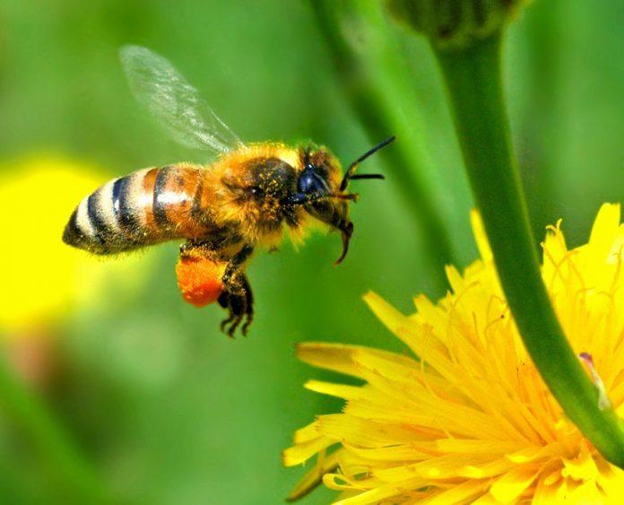 Las abejas, no deberían volar. Pero vuelan