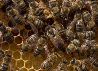 El cerebro de los humanos se parece mucho a las colmenas de abejas.