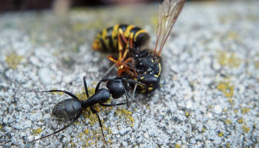 Las hormigas explosivas