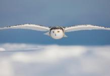 El búho y su sigiloso vuelo