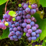 La uva contiene un compuesto que protege contra las alteraciones celulares del alzhéimer