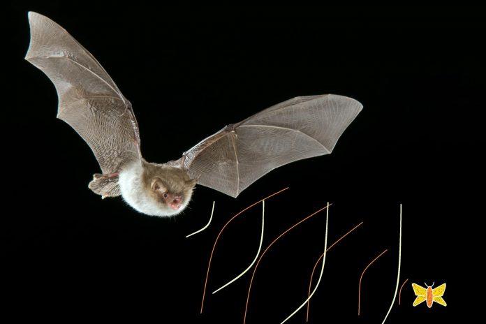 Los murciélagos y su ecolocalización de sus presas