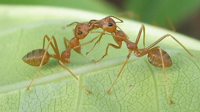 Comunicación de las hormigas