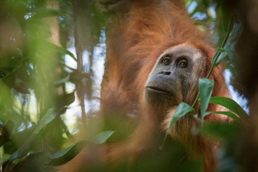 Entre las nuevas especies tenemos Orangután indonesio: el de Tapanuli