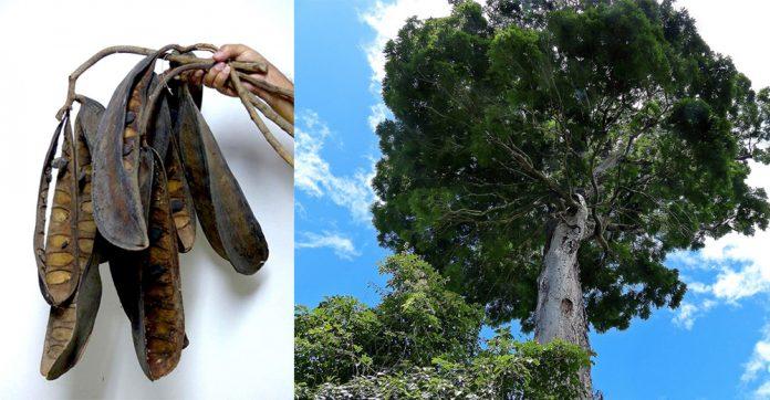 Descubiertas nuevas especies de Árbol solitario:Dinizia jueirana-facao