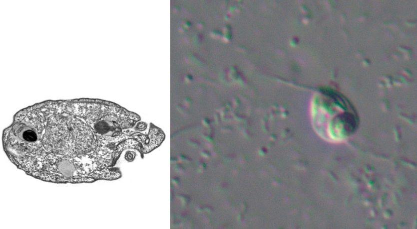 Nuevas especies Protista sin linaje:Ancoracysta twista