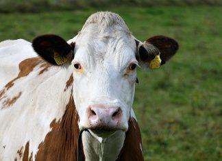Colágeno de bovino