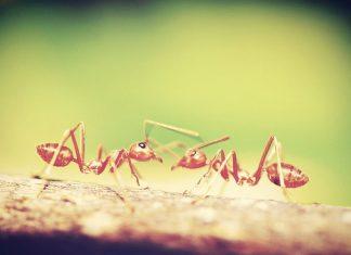 Las hormigas coloradas