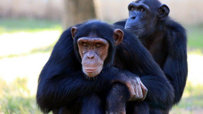 Curiosidades de nuestros amigos los monos