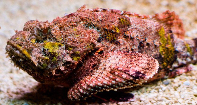 El pez piedra y sus camuflajes