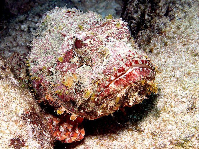 El pez mas venenoso del mundo