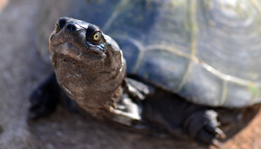 Las tortugas hembra