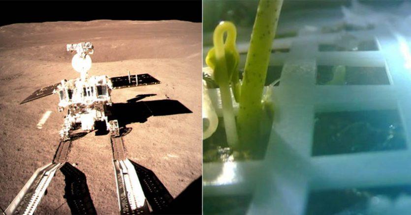 Las semillas de algodón pudieron manejar estas duras condiciones, al menos inicialmente, convirtiéndose en las primeras plantas en brotar en la superficie de la luna