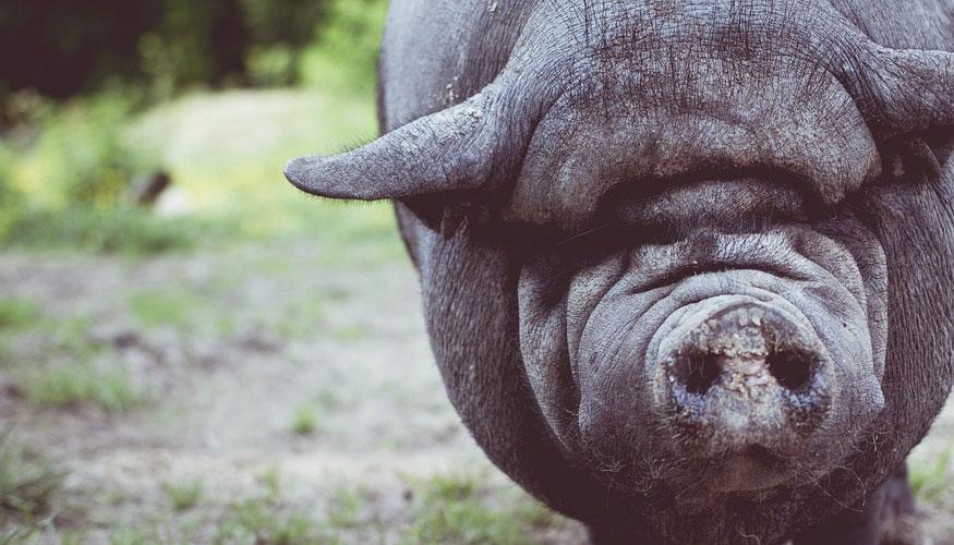 cabezas de cerdos