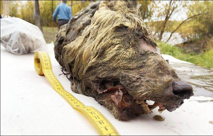 la cabeza de un lobo