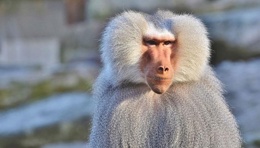 trasplantan órganos de cerdo en monos