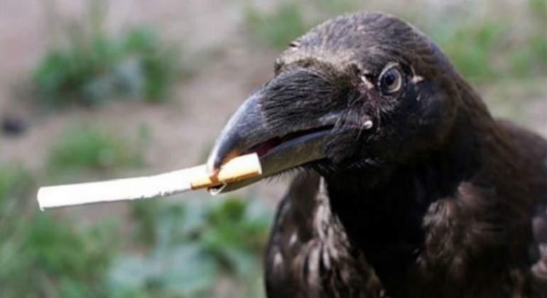 cuervo usando herramientas