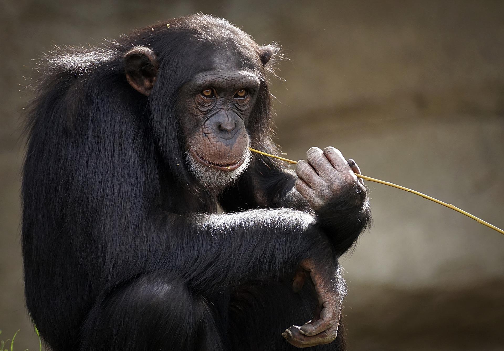 chimpancé animal más inteligente